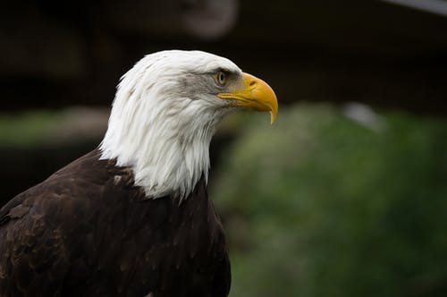 Free stock photo of adler, bird, eagle