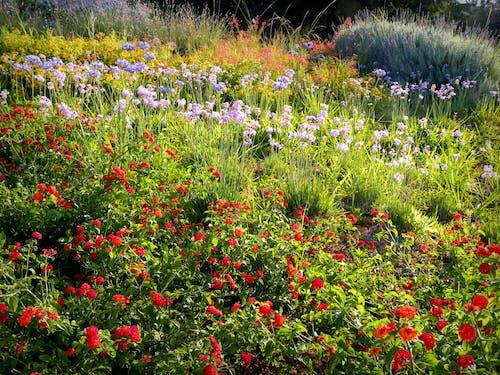 Ilmainen kuvapankkikuva tunnisteilla kukat, kukkaniitty, luonnonkukat, yrtit