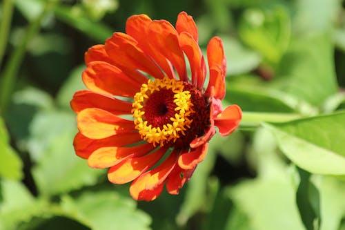 Foto d'estoc gratuïta de bonic, botànica, brillant, colors brillants