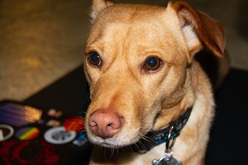 puppers, 墨西哥街头狗, 声张, 柯基犬 的 免费素材照片