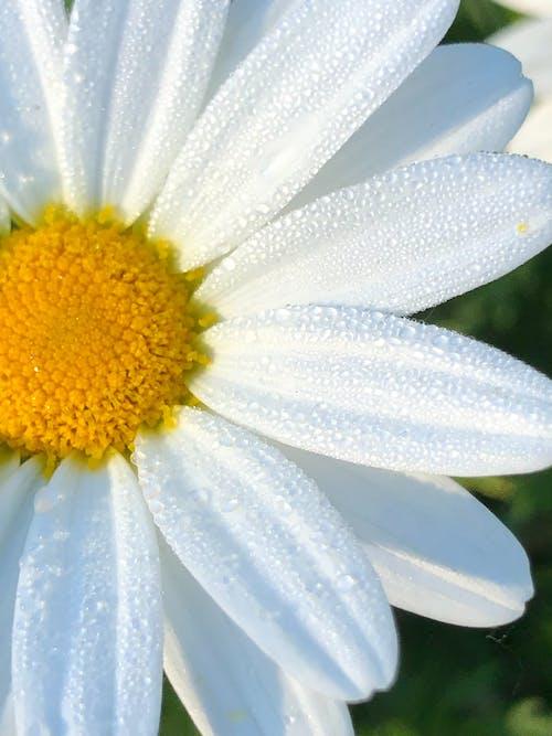 Fotobanka sbezplatnými fotkami na tému gerbera daisy, kvet, okvetné lístky, rosa