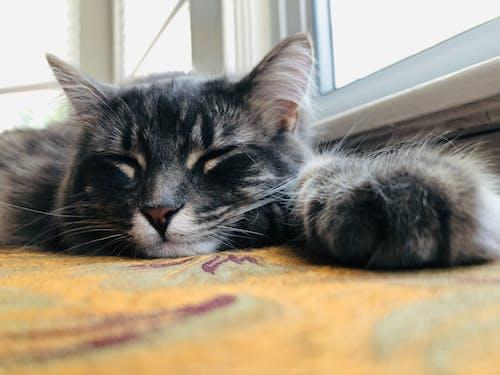 Fotobanka sbezplatnými fotkami na tému cat nap, lenivý, mačacia tvár, mačiatko
