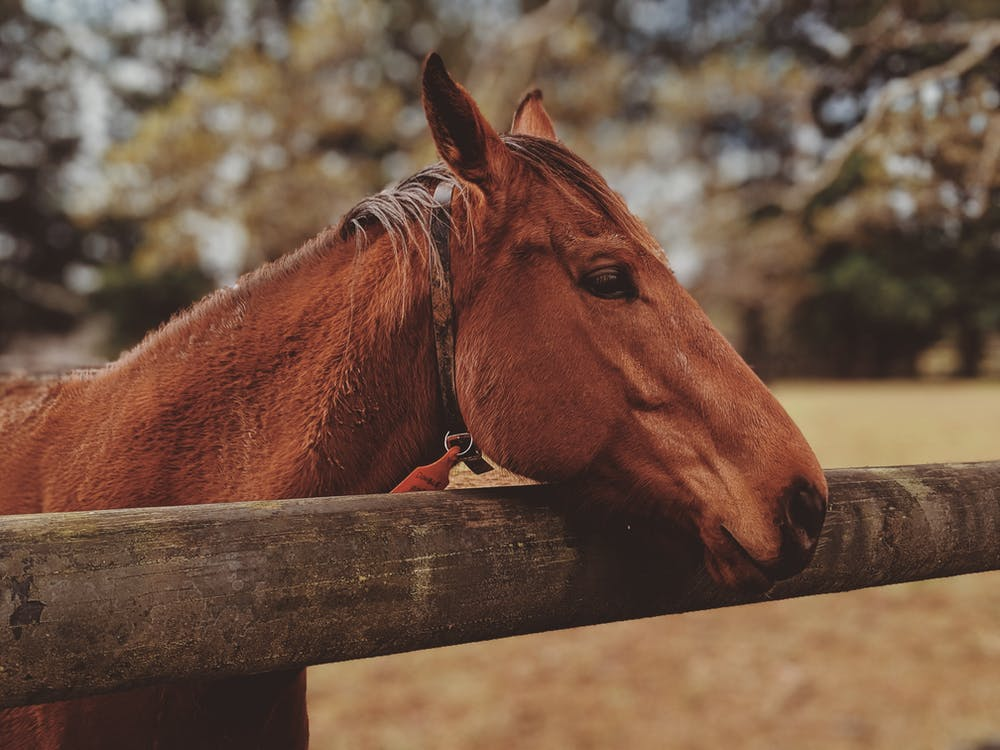 голова лошади, грива, домашний скот