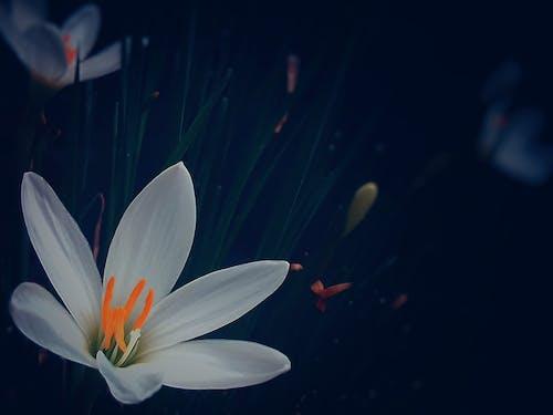 Ingyenes stockfotó 4k-háttérkép, asztali háttérkép, Első virágok, fehér lilly témában