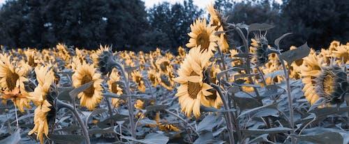반복, 태양 꽃의 무료 스톡 사진