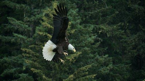 Bald Eagle Flying Across Green Trees
