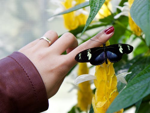 Black Longwing Butterfly on Person Finger
