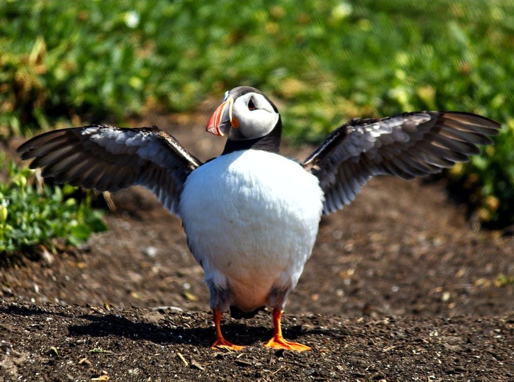 #puffin #bird #wings