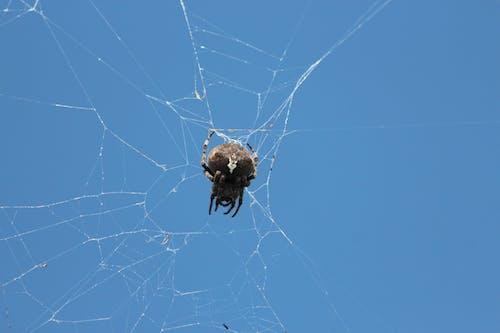 Foto d'estoc gratuïta de animal, aràcnids, aranya, artròpode