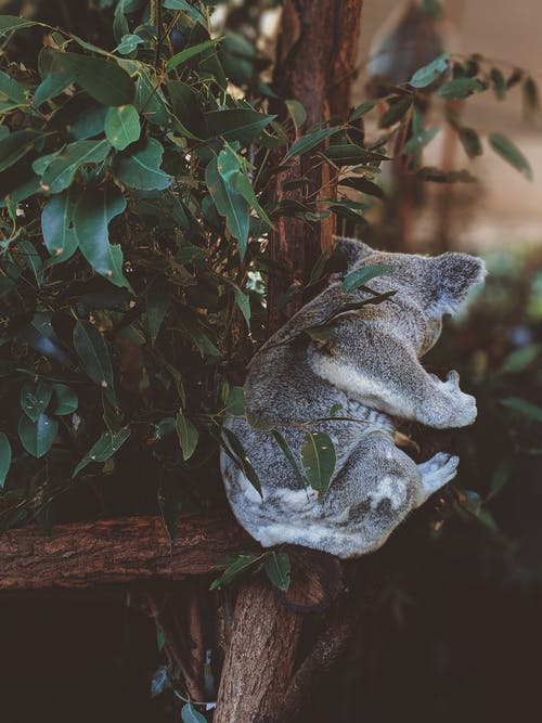 Free stock photo of animal, cute, eucalyptus, fluffy