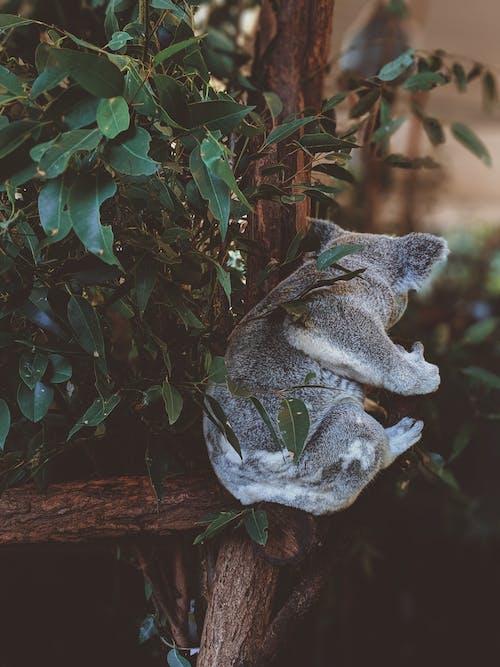 Gratis stockfoto met aanbiddelijk, beesten, boom, buideldier