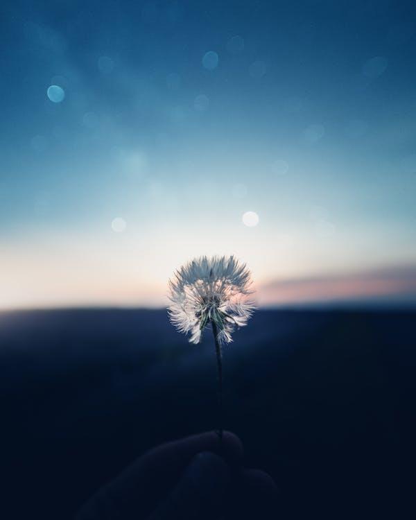 Shallow Focus Photography Of Dandelion Flower