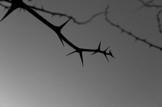 Free stock photo of black and white, thorns, thornbush