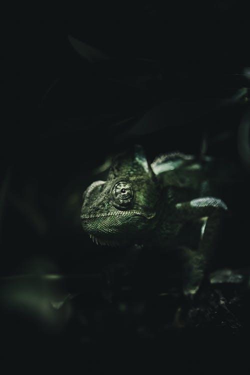 Kostenloses Stock Foto zu amphibie, chamäleon, eidechse, reptil