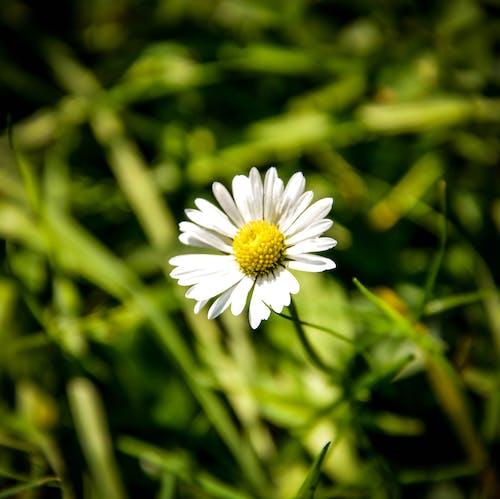 フィールド, 咲く, 夏, 太陽の無料の写真素材