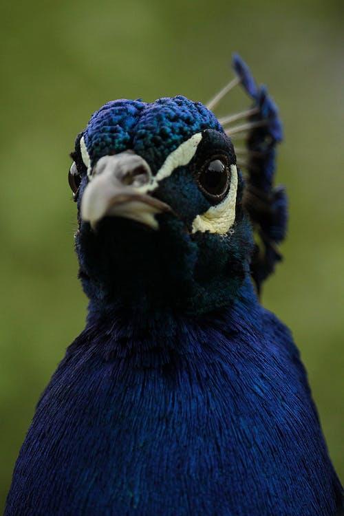 くちばし, クジャク, 動物, 動物の写真の無料の写真素材