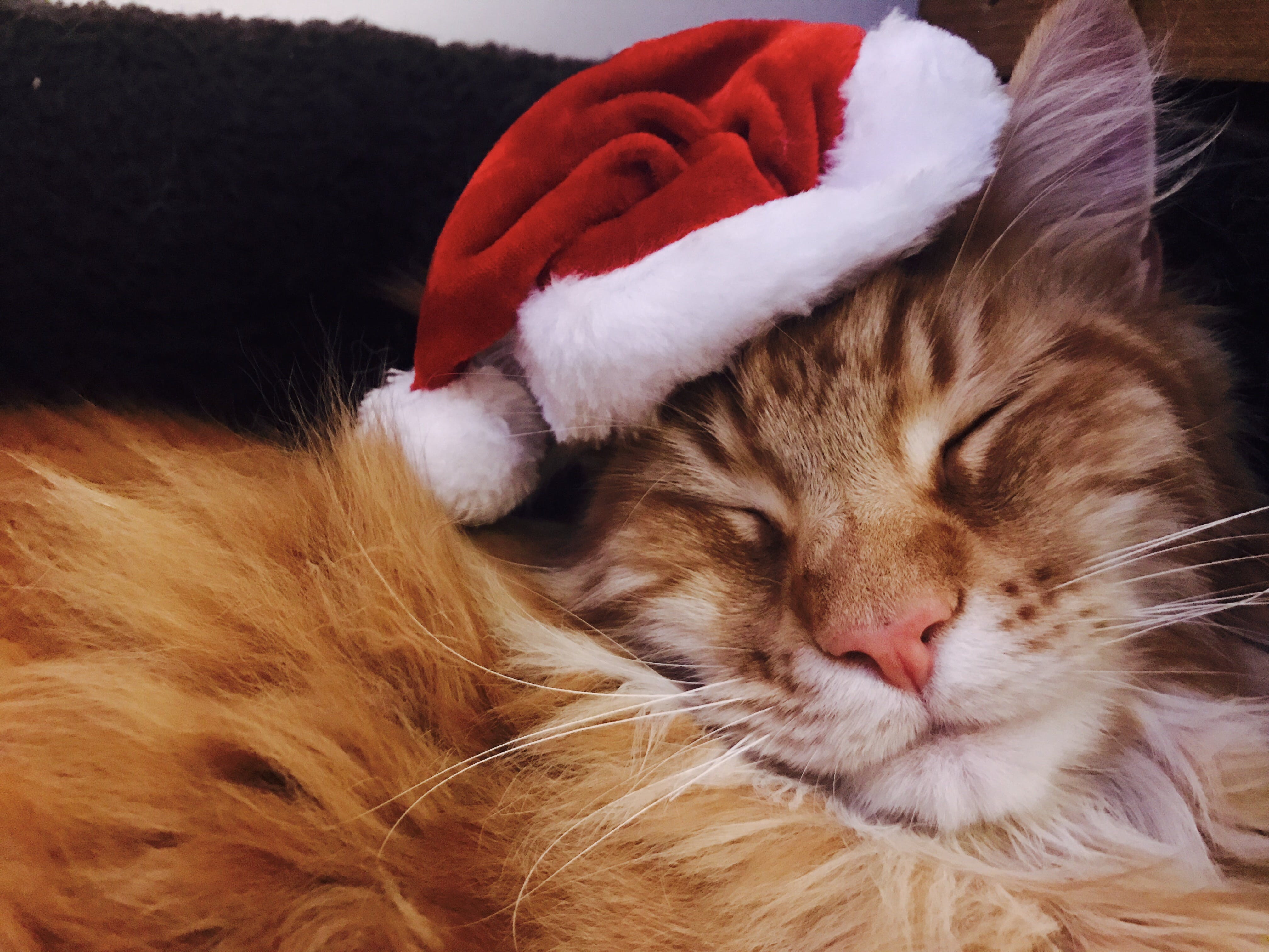 Free stock photo of cat, christmas, christmas cat, festiva