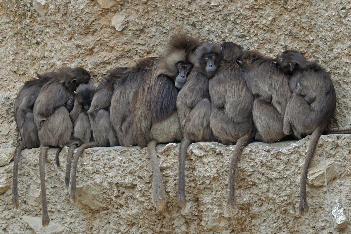ape, dschelada, primates