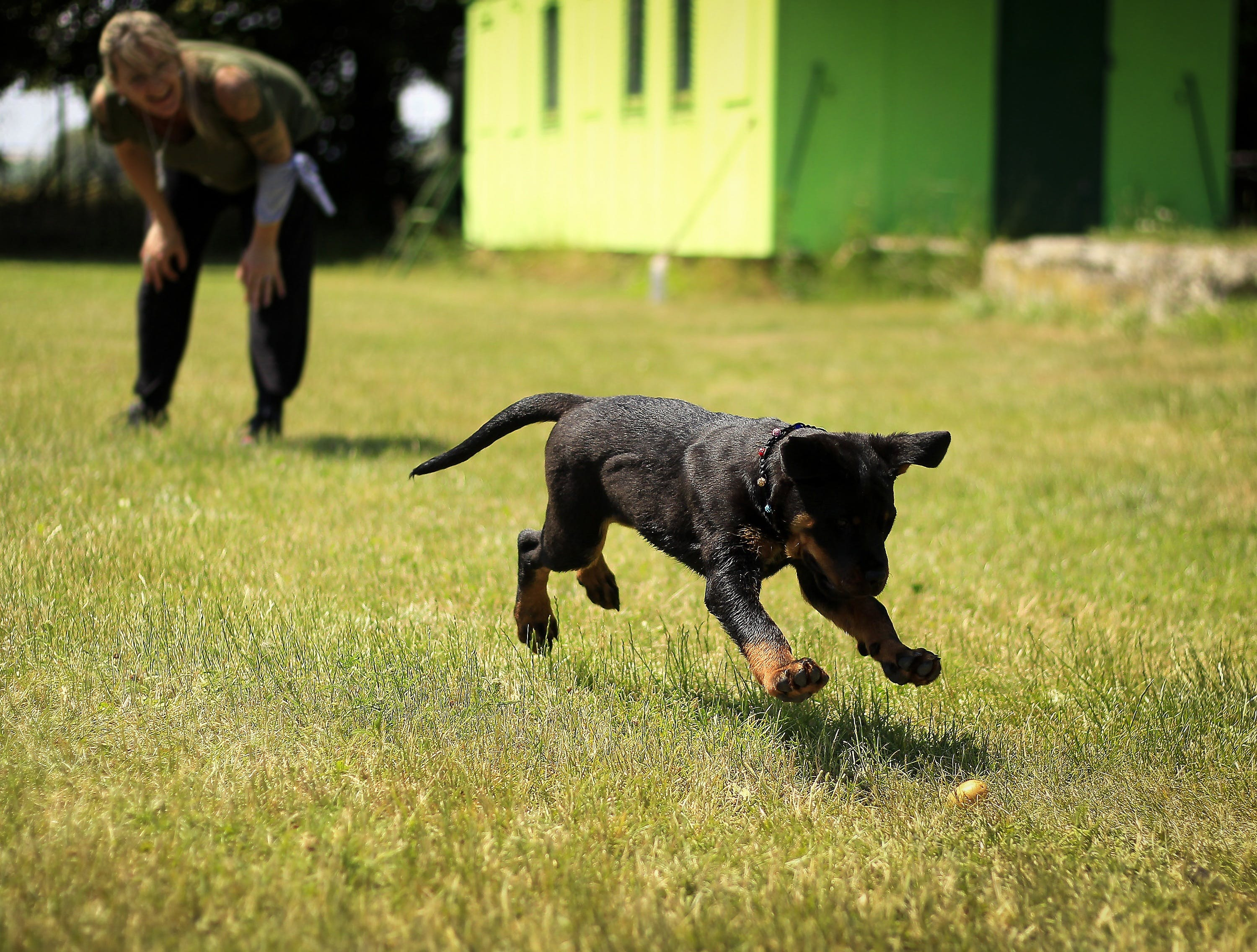 Black and Tan Rottweiler Puppy Running on Lawn Grass