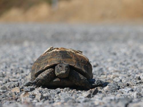 Foto profissional grátis de kaplumbağa, tosbağa