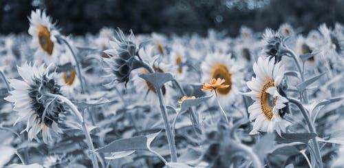 꽃, 시원한 빛, 파란 조율, 해바라기의 무료 스톡 사진