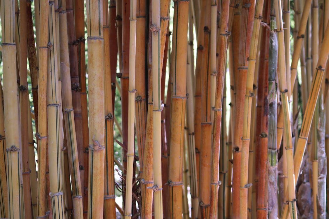 bambus, bliski, flora