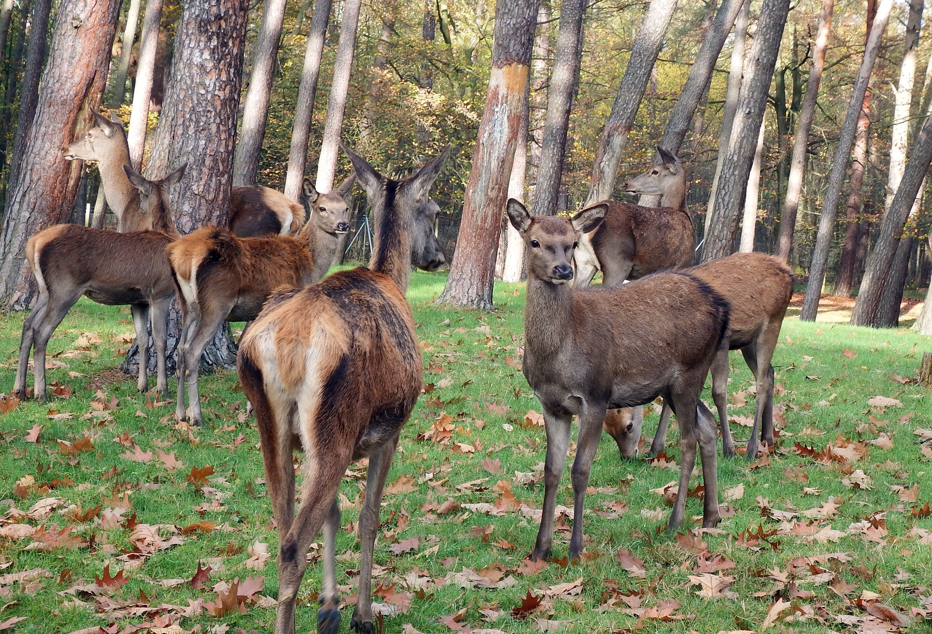 Free stock photo of autumn, group, deer, flock
