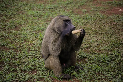 Free stock photo of animal park, baboon, eating, grass