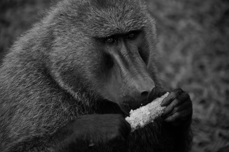Free stock photo of animal, animal photography, animal portrait, baboon