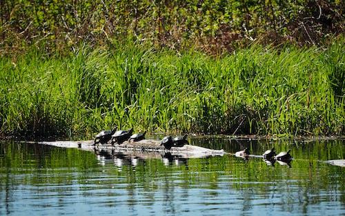 Fotobanka sbezplatnými fotkami na tému klát, korytnačky, leto, voda