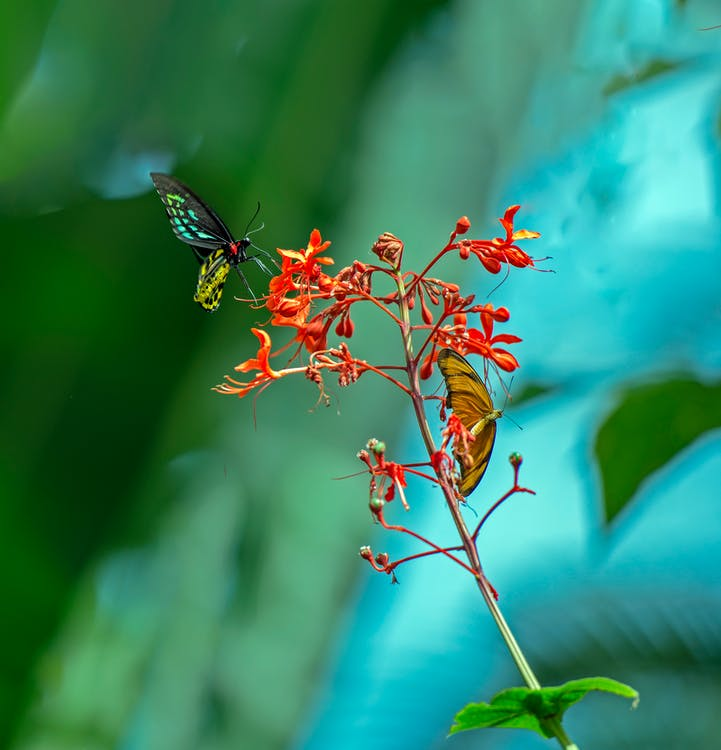 Two Butterfly on Red Flower