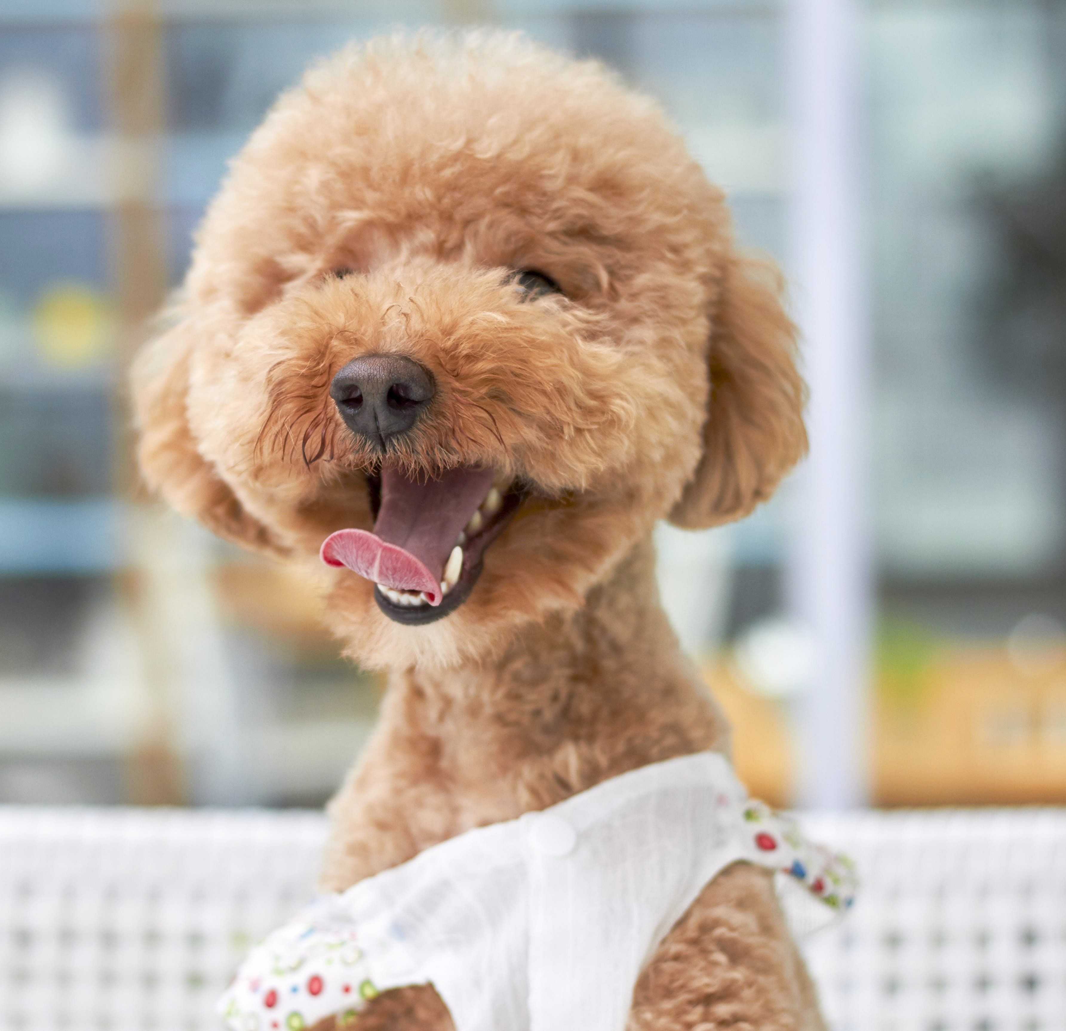 Long-coated Brown Dog Wearing White Dress