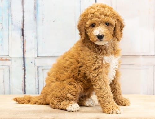 Fotos de stock gratuitas de animal, bernedoodle, cachorro, cachorro de oro