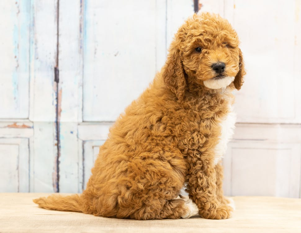 animal, bernedoodle, cachorro