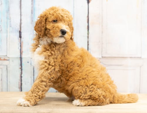 Photo of Brown Dog