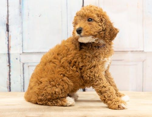 Free stock photo of animal, bernedoodle, cute, cute animal
