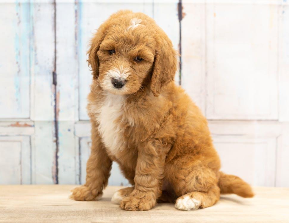 Fotos de stock gratuitas de animal, bernedoodle, cachorro