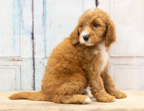 Free stock photo of adorable, animal, bernedoodle, cute