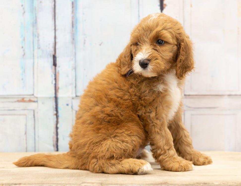 adorable, animal, bernedoodle