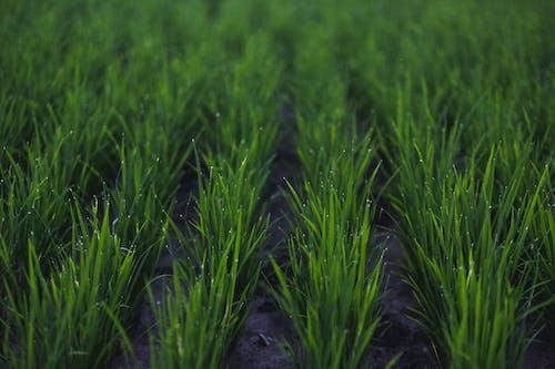 亞洲, 白米, 稻田, 露珠 的 免費圖庫相片