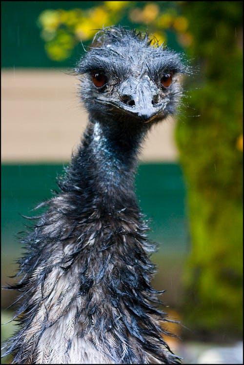 性情乖戾的, 憤怒的小鳥, 鴯 的 免費圖庫相片