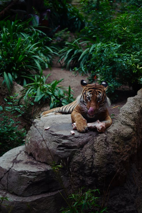 Photo of Tiger Eating
