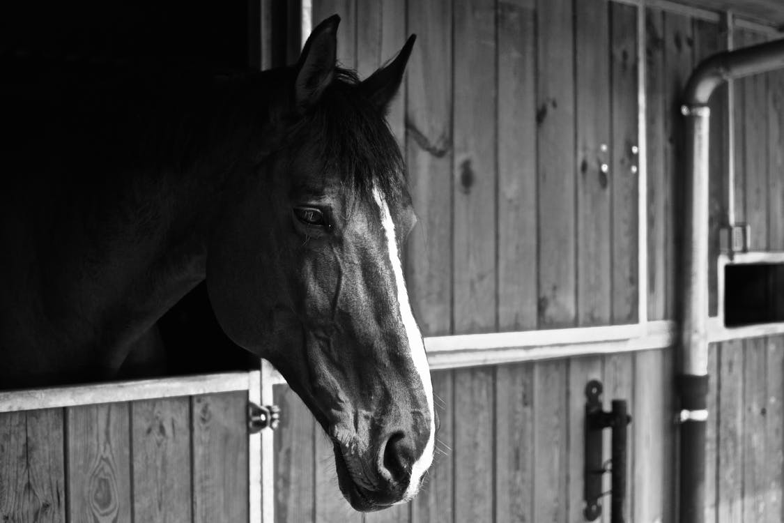 Monochrome Photo of Horse