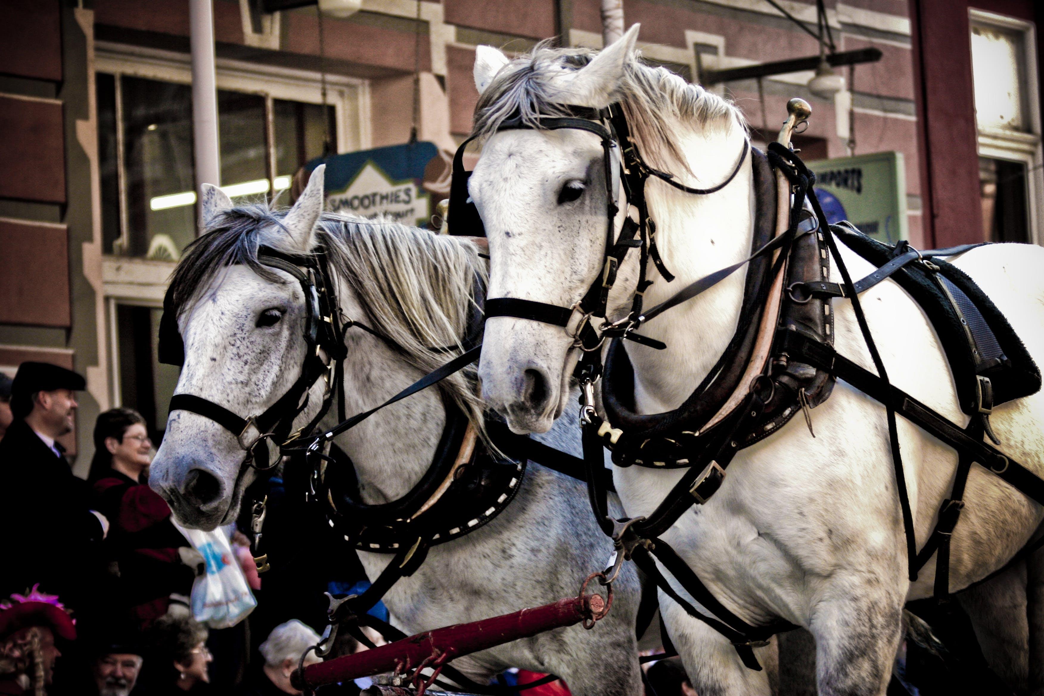 Free stock photo of animal, event, travel, horses
