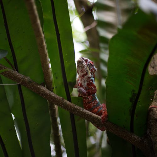 Selective focus photography of a chameleon on a tree branch