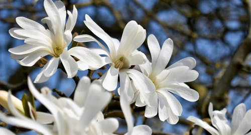 Free stock photo of blossoms, white flowers