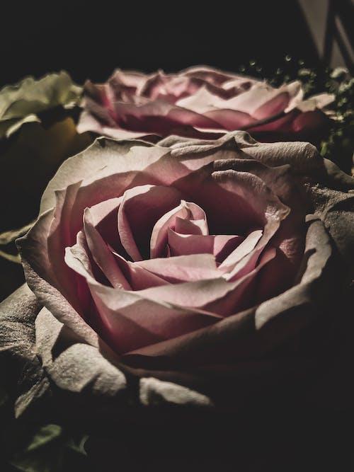 Fotobanka sbezplatnými fotkami na tému detailný záber, mikro štyri tretiny, ružové ruže, svetlo atieň