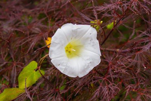Foto d'estoc gratuïta de flor, flor blanca, flor d'estiu, flor silvestre