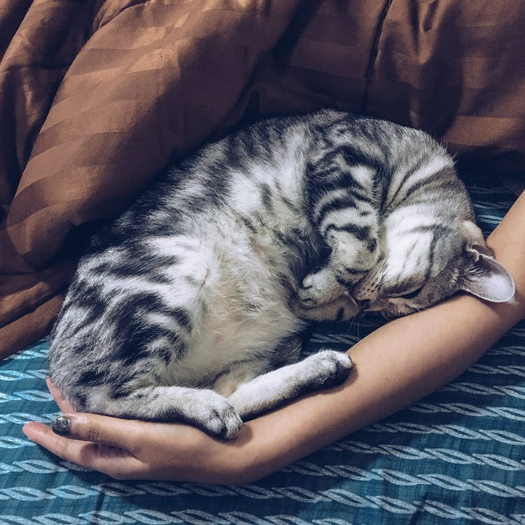 Silver Tabby Cat Besides Person's Arm