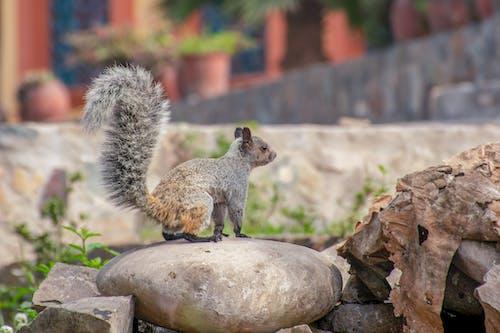 松鼠, 狐狸松鼠 的 免费素材照片